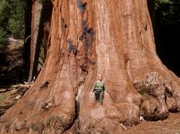 Sequoia tree